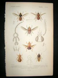 Cuvier C1840 Antique Hand Col Print. Insects 182